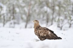 White-tailed eagle on snow Royalty Free Stock Photo