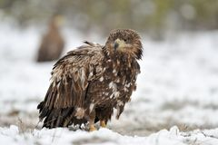 White-Tailed Eagle on snow Royalty Free Stock Photos