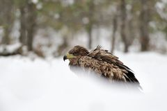 White tailed eagle on snow Stock Image
