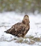 White-Tailed Eagle on snow Stock Image