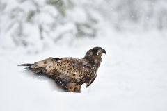 White-tailed Eagle in snowfall Royalty Free Stock Image