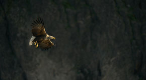 White-tailed Eagle Stock Photo