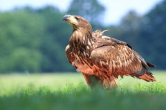 White-tailed eagle Royalty Free Stock Photography