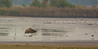 White-tailed Eagle taking down Royalty Free Stock Images