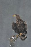 White-tailed eagle on a tree in snowfall Royalty Free Stock Images