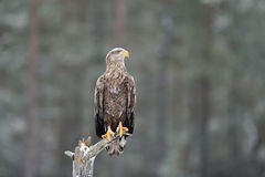 White-tailed eagle on a tree in winter Royalty Free Stock Image