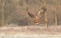 White tailed eagle. Stock Image