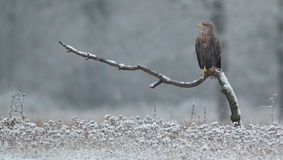 White tailed eagle. Stock Photos