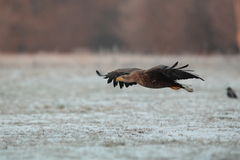 White tailed eagle. Stock Photo