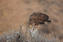 White tailed eagle. Royalty Free Stock Photography