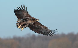White tailed eagle. Stock Photography