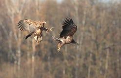 White tailed eagle. Royalty Free Stock Photo