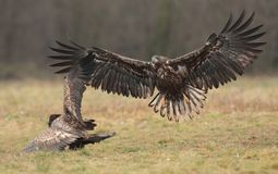 White tailed eagle. Stock Photos
