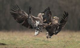 White tailed eagle. Stock Image