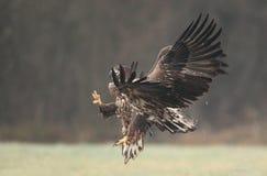 White tailed eagle. Stock Photo