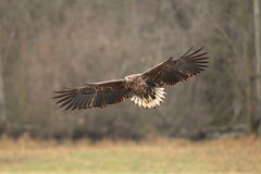 White tailed eagle. Stock Images
