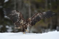 White tailed eagle walking on snow Royalty Free Stock Photography