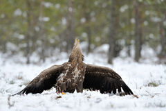 White-tailed Eagle in winter Stock Photos