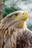 White-tailed eagle. A White-tailed eagle  in the zoo Royalty Free Stock Image