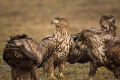 White tailed eagles Royalty Free Stock Photos
