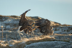 White-tailed Eagles Fighting Stock Photography