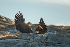 White-tailed Eagles Fighting Stock Image