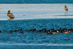 White Tailed Eagles On Ice Royalty Free Stock Images