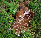 White-tailed Fawn. A young fawn lies in the thick grass beside a road in West Virginia Royalty Free Stock Images