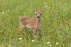 White Tailed Fawn Chest Deep in Wildflowers Stock Images