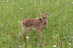 White tailed Deer Fawn Standing in a Meadow of Wildflowers. White tailed fawn covered with spots standing in a wildflower meadow Stock Photos