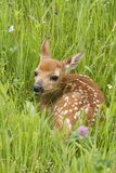 White Tailed Fawn Curled up Lush Meadow Royalty Free Stock Image