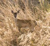 White tailed fawn deer in the sea oats stock photos