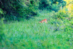 A White-tailed fawn grazing along a trail stock photos