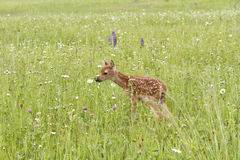 White Tailed Fawn in Lush Meadow Royalty Free Stock Photography