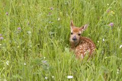 White Tailed Fawn Curled up in a Meadow of Wildflowers Royalty Free Stock Image
