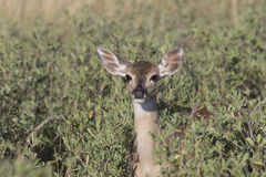 White-tailed fawn Royalty Free Stock Photos