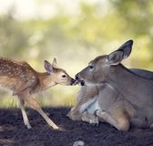 White-tailed doe with  her  fawn Royalty Free Stock Photography