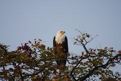 White Tailed Fish Eagle Stock Photography