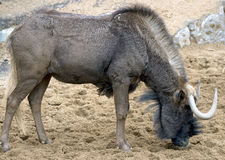 White-tailed gnu 2 Stock Photo
