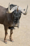 White-tailed gnu (Connochaetes gnou) or black wildebeest. Black wildebeest or white-tailed gnu (Connochaetes gnou) is one of the two closely related wildebeest Stock Image