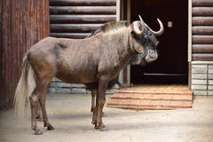 White-tailed gnu (Connochaetes gnou) or black wildebeest Royalty Free Stock Photo