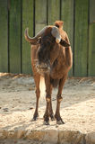 White-tailed gnu (Connochaetes gnou) Royalty Free Stock Images