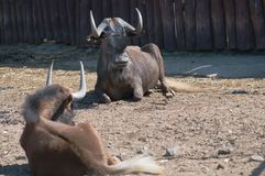 White-tailed gnu Stock Photos