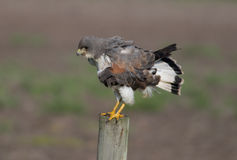 White-tailed Hawk Stock Photography