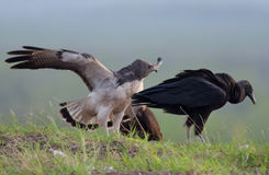 White-tailed Hawk and Black Vulture Stand-off Royalty Free Stock Images