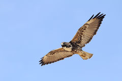 White-tailed Hawk in Flight- Texas Royalty Free Stock Photography