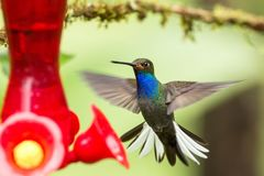 White-tailed hillstar,hummingbird with outstretched wings, tropical forest,Colombia,bird hovering next to red feeder with sugar. Water in garden,clear stock photography