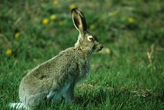 White-tailed Jackrabbit. A white-tailed jackrabbit on alert in green grass field Royalty Free Stock Image