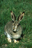 White-tailed Jackrabbit in Grass Stock Photography