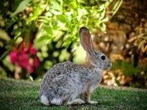 White tailed Jackrabbit & x28;Lepus townsendi& x29; sitting on grass on golf course in California. White tailed Jackrabbit & x28;Lepus townsendi& x29 Stock Photo